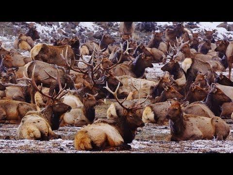 Oak Creek Wildlife Area: Hundreds of Majestic Wild Elk and Bighorn Sheep (HD)
