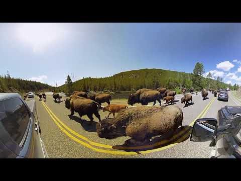 Baby Buffalo in the most Adorable Bison Jam Ever (at Yellowstone in 3D 360 VR)