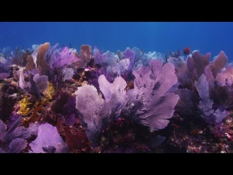 Coral gardens could save ocean life