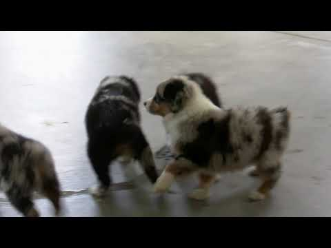 Robbie and Rhonda Miller's Australian Shepherd Puppies