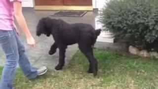 Poodle Rescue Of Houston