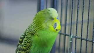 Disco the Talking Budgie - Outtakes (Pets Wild at Heart)