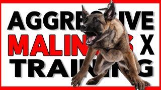 Aggressive Malinois Dutch Shepherd Training  No Prong Collar, No ECollar