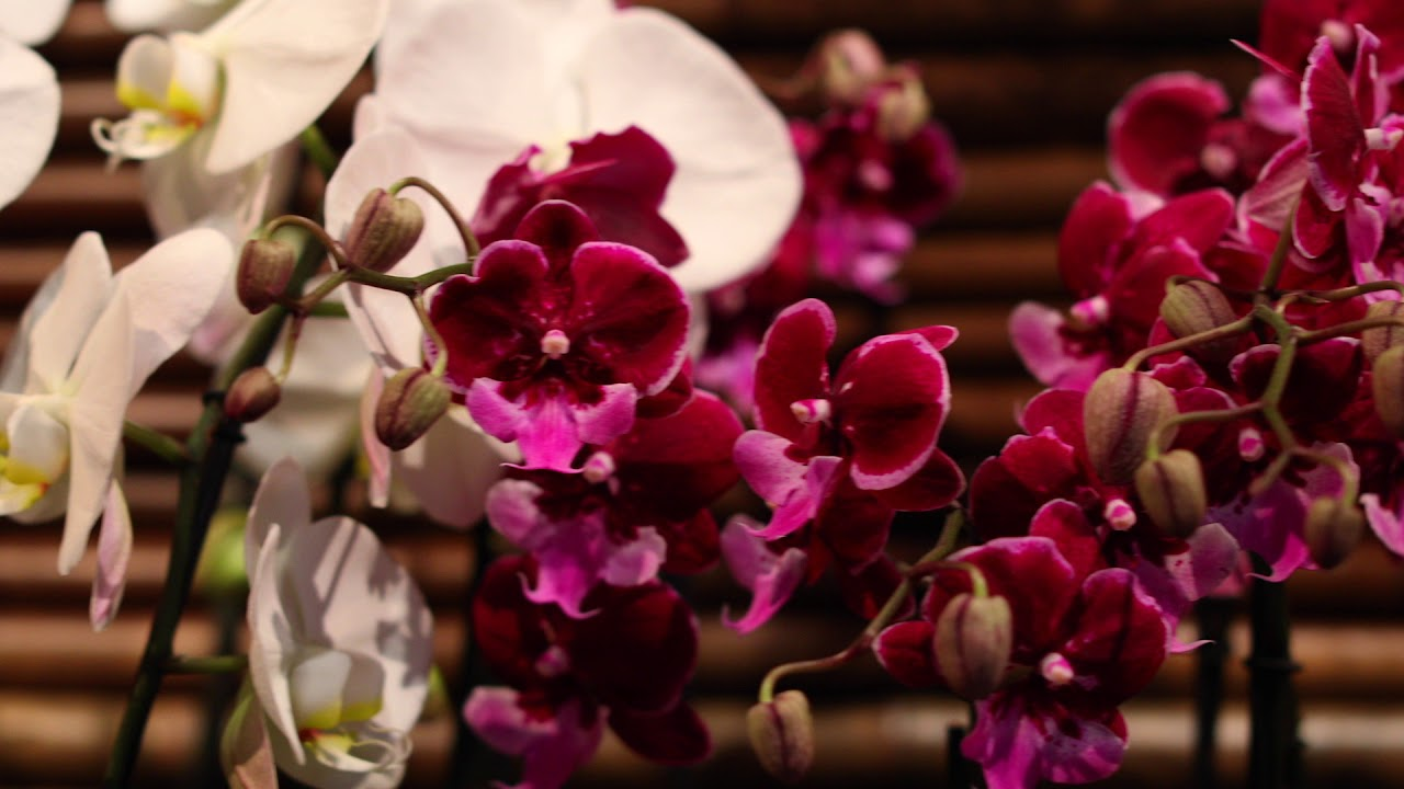 Asia In Bloom: The Orchid Show At The Chicago Botanic Garden
