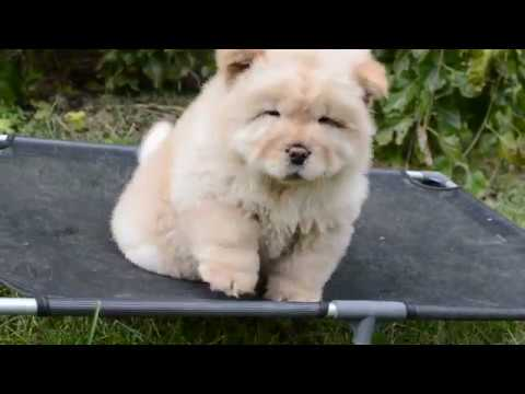 Chow-chow puppy 8 weeks old - YouTube