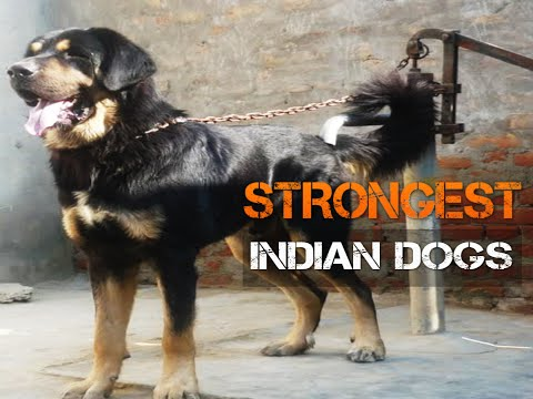 Five Strongest Indian Dogs