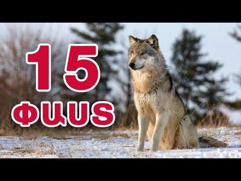 15 փաստ գայլերի մասին #youtubeAM