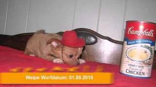 100% Gesund Chihuahua Welpen
