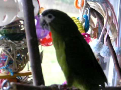 hahns macaw playing