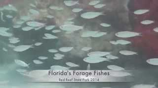 Florida Forage Fishes at Red Reef State Park 2014