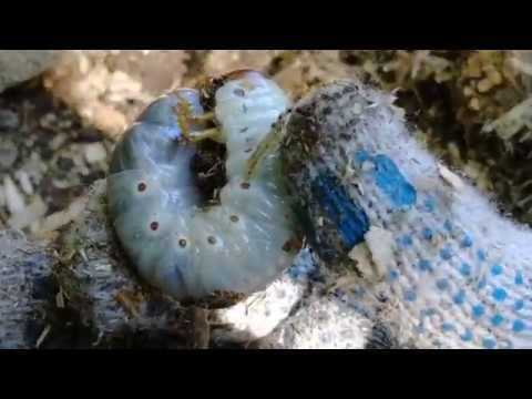 Где набрать личинок майского жука на голавля и другой крупной рыбы.
