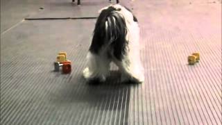 Petey the Havanese Trick Dog Champion Submission Video