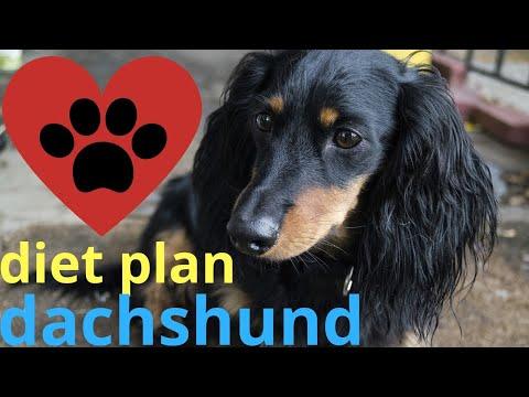 diet plan dachshund |  facts in hindi | Animal Channel Hindi