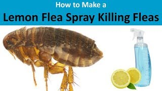 lemon as flea preventer Michigan medicine - university of michigan better treatment, not more spending, saves heart attack patients, study finds: increases in lemon flea spray for cats early stenting have paid off in lives and dollars, but overall costs have grown without accompanying reductions in mortality.