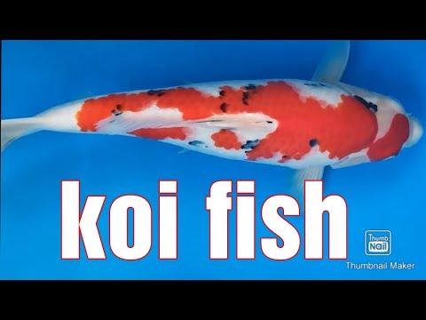 Best Koi Fish Videos   2021 Japan Compilation    Mejores Videos De Peces Koi  Japón Compilación #1