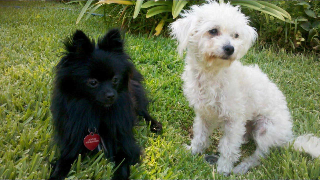 Maltese Poodle White | www.pixshark.com - Images Galleries ... Black Maltese Poodle Puppies