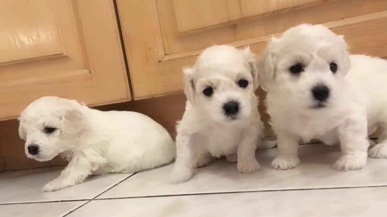 Repeat Cute Baby Puppies Bichon Frise