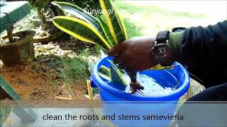 cara tanam lidah mertua menggunakan hidrogel [how to plant sansevieria using hydrogel]