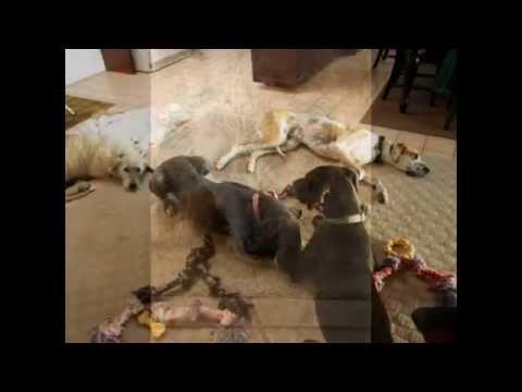 Irish Wolfhound Rescued In Tijuana ****ADOPTED****