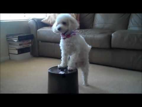 Cutie Pie, the Poodle, Dog Tricks 2011 Fall
