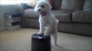 Cutie Pie, The Poodle, Dog Tricks 2011 Fall