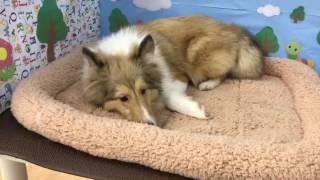 ペットショップ Coo&Riku №326313 犬種:シェットラントシープドッグ Video