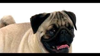 Dog Facts 101 - Pug