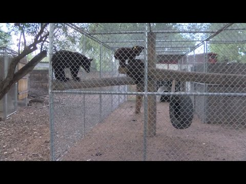 New Mexico bear sanctuary overrun with cubs