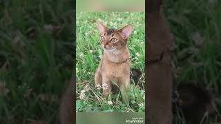 Smartest cat breeds in the World | Part 01