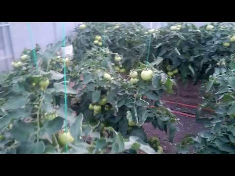 Tomate de luna mai in parg in Sera de la Brazi