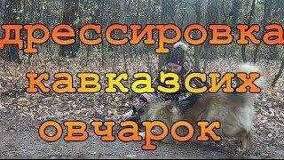 Дрессировка кавказских овчарок. Урок 1