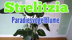 Strelitzien pflegen gießen düngen vermehren Standort umtopfen Strelitzia Paradiesvogelblume