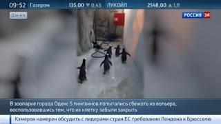 Улыбаемся и машем: дерзкий побег пингвинов из датского зоопарка