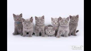 Семь бомбических британских котят позируют!