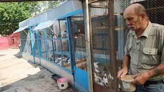 Бакинские голуби шейки, мраморные. В гостях у голубевода Васо Тбилисский, телефон +79614603640