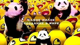 Смешное видео: панда-хулиганка