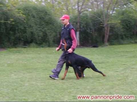 Doberman Zeus di Altobello - BH training