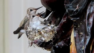 Nine days with a hummingbird family in 10 minutes, see mama feed the babies 06042020