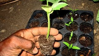 PLANTING CUCUMBERS (Poinsett): seed to seedling: Agrosuede Backyard Gardening