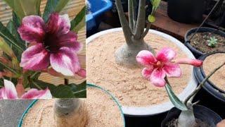 Vasos Ideais para Iniciante no Cultivo de Rosa do Deserto