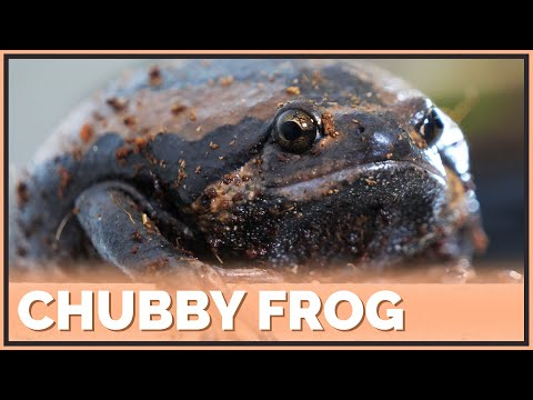 First Impressions On Chubby Frogs! Do They Make Good Pets?