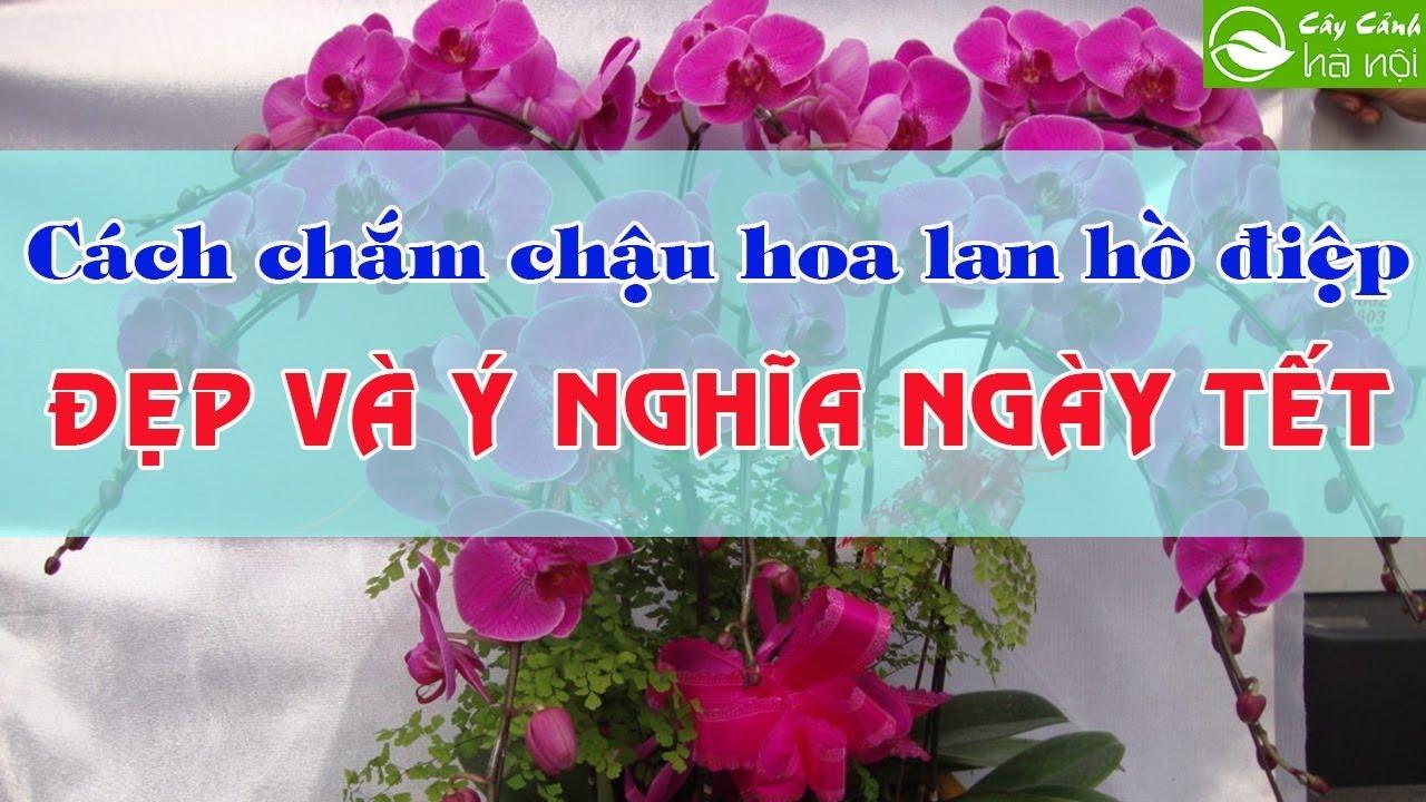 Cách cắm chậu hoa lan Hồ Điệp đẹp và ý nghĩa ngày Tết