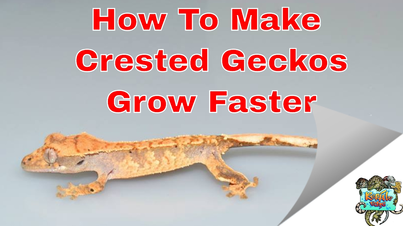 How to make your crested gecko grow faster youtube how to make your crested gecko grow faster nvjuhfo Images