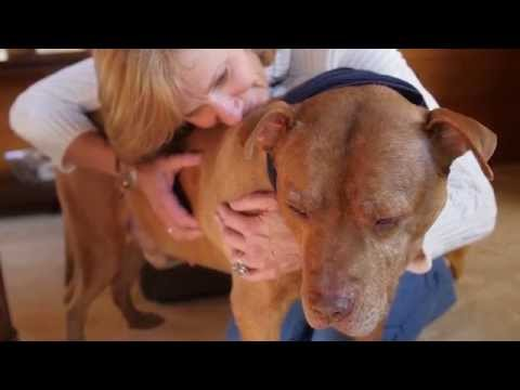 Loving Pit Bull Rescued from Dogfighting Raid - Meet Hank