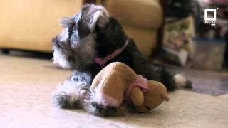 Miniature Schnauzer Cute Puppy By Keanhui Photographer - キエンフイ撮影者