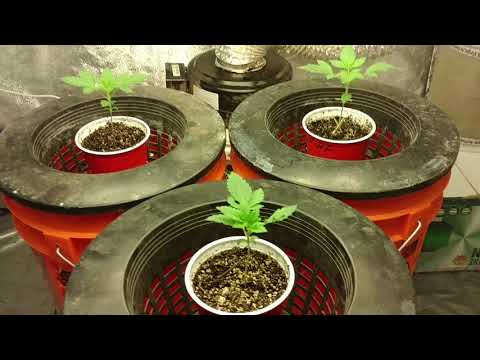 Crop King Seeds White Widow Feminized 4x4 Room Cannabis Grow Journal Day 14 from Seed/Wk 1 Veg