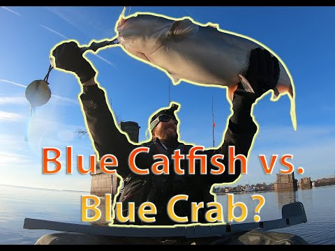 Blue Catfish Truth Episode 3: Impacts On Blue Crab, Shad, Herring, American Eel, Atlantic Sturgeon