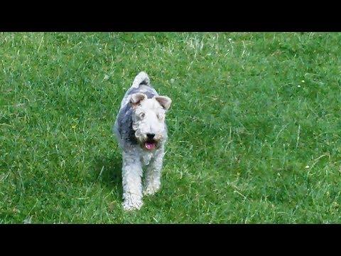 Wire-Haired Fox Terrier Harry Harry mooching.