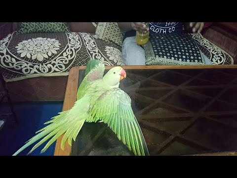 How to Bathe your Parrot in Hindi || Bird Mania
