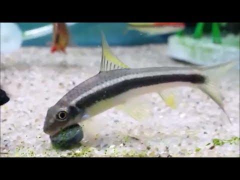 False Siamese Algae Eater Vs. True Siamese Algae Eater - How To Tell Between Algae Eaters Fish